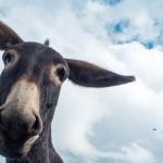 Ein Esel