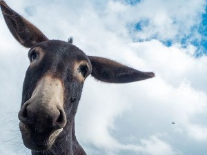Der Esel Paco vom Veldenzer Bergfrieden.