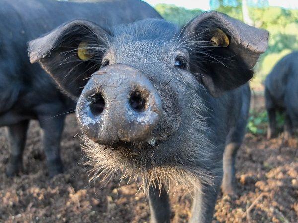 Ein porc noir auf dem Veldenzer Bergfrieden.