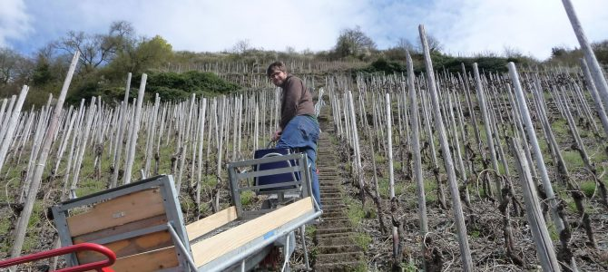 Weingut Immich-Anker: Ernten im Eisbruch