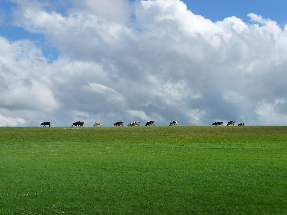 Eifel, Landschaft, Kühe