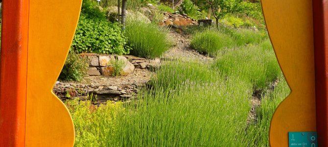 Razejunge-Wingert: In diesem Weinberg wächst jetzt Lavendel